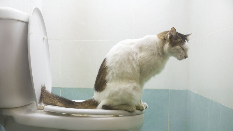 How To Teach A Cat To The Toilet?