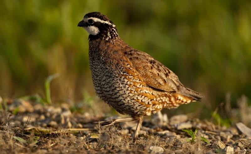 Breeding Quail At Home- Detailed Instruction