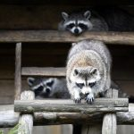 Raccoon At Home: Care And Maintenance