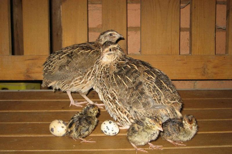 Breeding Quail At Home- Detailed Instruction